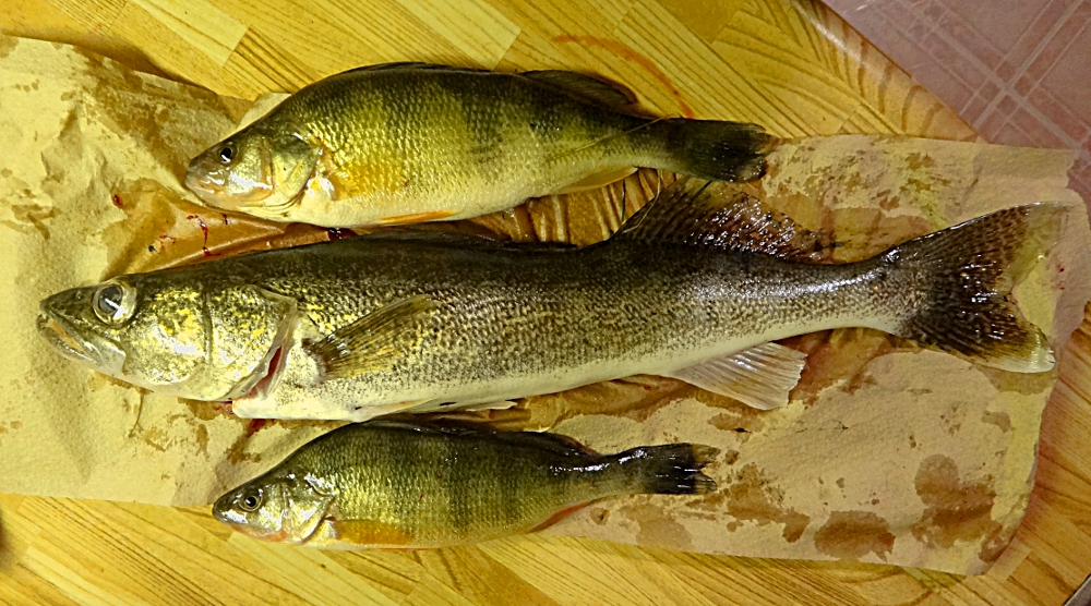 Les poissons conservés