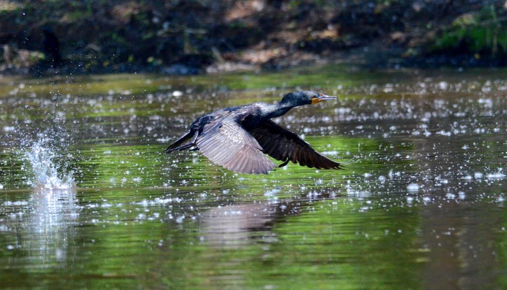 Envol d'un cormoran